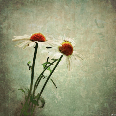 iphoneography - daisies