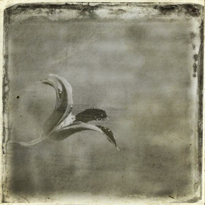 iPhoneography - old clematis