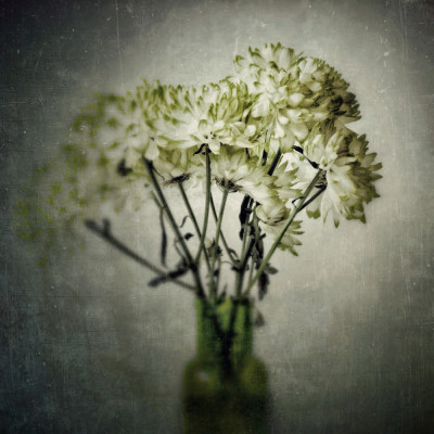 chrysanthemums - iphoneography