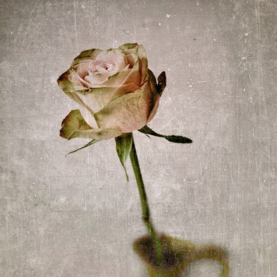 iphoneography - sweet rose
