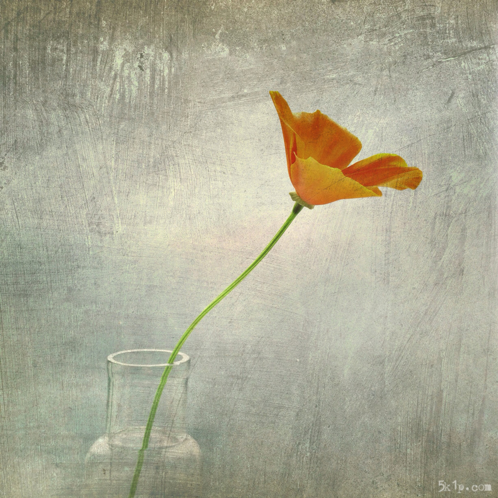 iphoneography - californian poppy