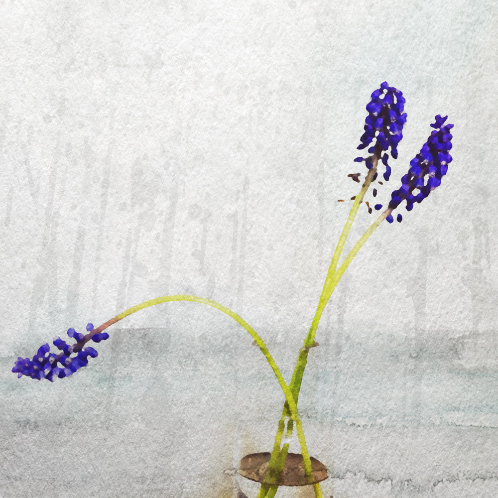 aquarella - muscari
